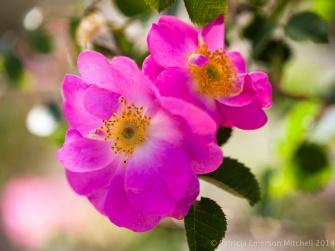 Heritage_Rose_Garden-_La_Belle_Sultane,_4.30.14