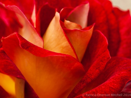 Heritage_Rose_Garden-_Luscious_Lucy,_4.30.14