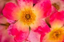 Heritage_Rose_Garden-_New_Face,_4.24.14