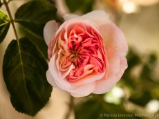 Heritage_Rose_Garden-_Old_Garden_Rose,_4.23.14
