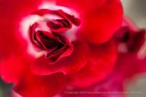 Heritage_Rose_Garden-_Pirouette,_5,5,14