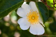 Heritage_Rose_Garden-_Polyantha_Grandiflora,_4.28.14