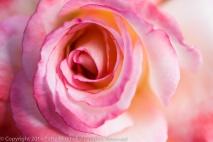 Heritage_Rose_Garden-_Secret,_9.15.14
