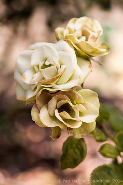 Heritage_Rose_Garden-_Sheila_Macqueen,_5.9.14