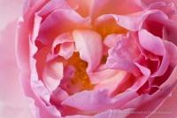 Heritage_Rose_Garden-_Sir_Walter_Raleigh,_9.15.14