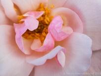 Heritage_Rose_Garden-_Souvenir_de_St._Anne's,_5.19.14