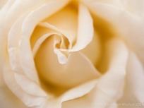 Heritage_Rose_Garden,_Frederic_Chopin,_5.5.14