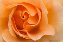 Honey Perfume Rose (I), 10.19.15