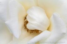 Honor Rose, 10.19.15
