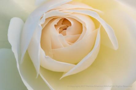 Iceberg Rose (I), 4.3.17