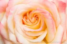 Ivory,_Pink_&_Yellow_Rose,_10.15.15