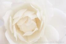 Ivory Rose, 10.27.17