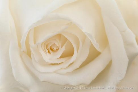 Ivory_Rose,_11.25.13