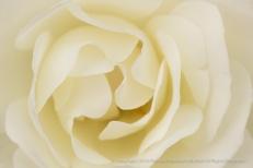 Ivory Rose, 4.12.16