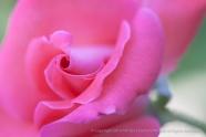 Jan's_Pink_Rose_on_Green,_7.27.15