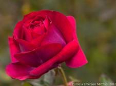 January_Rose