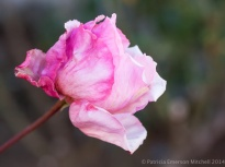 January_Rose,_1.15.14