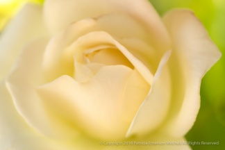 Kathy & Cliff's Rose, 6.29.16