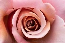 Koko Loco Rose, 5.16.18