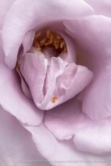 Lagerfeld_Rose_(II),_5.9.16