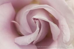 Lagerfeld_Rose_(I),_5.9.16