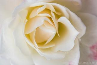 Last_Year's_Rose,_12.6.12