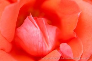Lasting_Peace_Rose_(I),_7.13.15