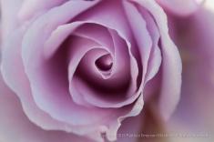 Lavender_Rose,_1.6.15