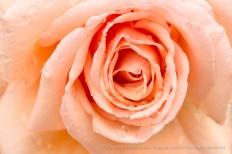 Light Orange Rose with Raindrops, 10.28.16