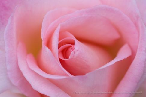Pink Rose, (i) 1.3.18