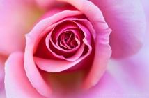 Light_Pink_Rose_(I),_5.15.14