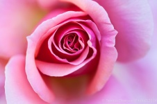 Light_Pink_Rose_(I),_5.15.14