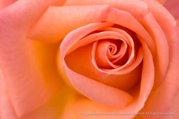 Light Salmon Rose, 11.7.16