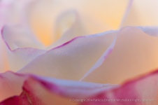 Light_through_a_Rose,_11.24.14