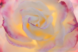 Light_through_a_Rose,_11.25.14