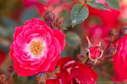 Little_Buckaroo_Rose