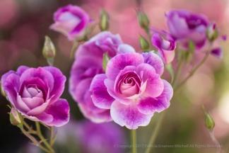 Live Rose Bouquet, 5.2.17