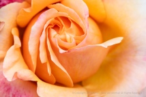 Lolita Rose (II), 4.30.18