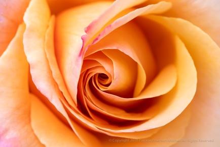 Lolita Rose (I), 4.30.18