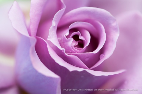 Love Song Rose, 4.18.14
