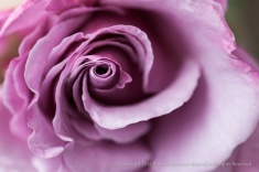 Lupton_Rose,_corrected_color,_11.19.14