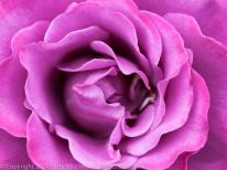 Magenta_Rose,_9.22.14