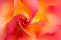 Mardi Gras Rose, 4.3.17