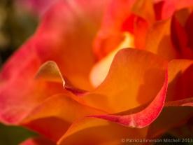 Mardi_Gras_Rose,_November_15,_2012