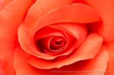 Marmalade Skies Rose, 4.21.16