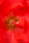 Marmalade_Skies_Rose,_7.13.15