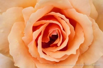Medallion_Rose_(III),_8.4.15