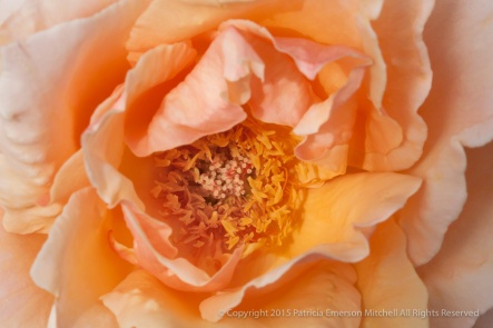 Medallion Rose (II), 8.4.15
