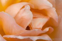 Medallion Rose (I), 8.4.15