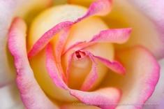 Meilliand's Peace Rose (I), 10.19.15